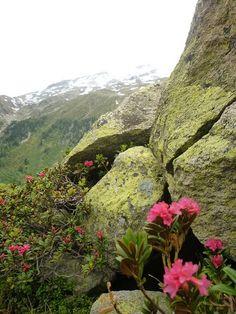 Blumen in den Felsen #ahrntal #Suedtirol - Foto von Carmen Pompeo