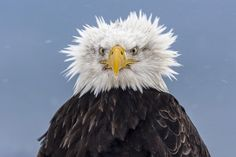 This eagle is having a bad hair day and has ended up looking more like scientist Albert Einstein than a bird of prey. Nature photographer Tim Boyer, who specialises in photographing birds, said he. Homer Alaska, Alaska Usa, Funny Animals, Cute Animals, Talking Animals, Funny Birds, Die 100, No Photoshop, Chef D Oeuvre