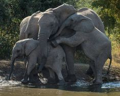 From : @wildimage707 - Group hug Kwa Maritane Waterhole Pilansberg South Africa. For info about promoting your elephant art or crafts send me a direct message @elephant.gifts or emailelephantgifts@outlook.com . Follow @elephant.gifts for inspiring elephant images and videos every day! . . #elephant #elephants #elephantlove