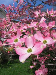 dogwood blooms photograph by paradisereal on Etsy, $18.00