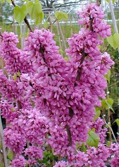 See our large selection of Redbuds for your landscape or garden, delivered to your home. Trees And Shrubs, Flowering Trees, Redbud Trees, Judas Tree, Grands Pots, Forest Nursery, Growing Gardens, Arbour Day, Spring Tree
