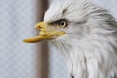 Shown on April 23, 2008, at a raptor recovery center in St. Maries, Idaho, Beauty the bald eagle will undergo surgery in June to replace the upper beak she lost to a bullet at least two years ago.