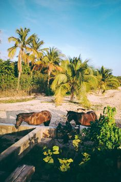 Wild Horses on the shores of Vieques in Puerto Rico