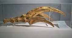 At just under a meter, the claws of Therizinosaurus are among the largest recorded.