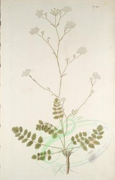 pimpinella saxifraga - high resolution image from old book. Old Book Pages, Plant Art, Art Clipart, Picture Collection, Botany, Vintage Images, Wall Collage, Bloom, Clip Art