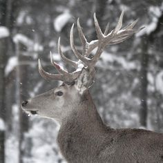 Confrontations between male deer during the reproductive season are often encountered (. Male Deer, Around The Worlds, Seasons, Instagram Posts, Animals, Animales, Animaux, Seasons Of The Year, Animal