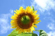 Wisconsin Sunflower | The Old Farmer's Almanac