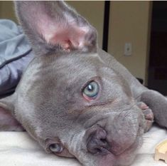 Rare Blue French Bulldog with Green Eyes.                                                                                                                                                                                 More