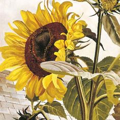 'Sunflower' (detail) by Stanley Spencer, 1938 Stanley Spencer, Plant Drawing, English Artists, Garden Painting, Beautiful Textures, Flowers Nature, Nature Animals, Beautiful Images, Flower Art