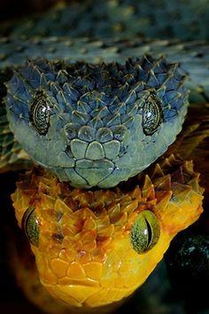 Serpientes azul y amarilla