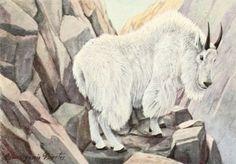 Fuertes, Louis Agassiz (1874-1927) - Burgess Animal Book for Children 1920 (Mountain Goat).