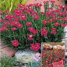 "Garten Bodendecker Nelke ""Red Pillow"", 3 Pflanzen Classic Drives – The Garden Route, South Garden Types, Potted Plants Patio, Landscaping Plants, Planting Succulents, Garden Images, Garden Pictures, Diy Garden Projects, Diy Garden Decor, Amazing Gardens"