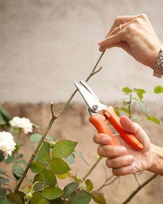 Conheça a rotina de cuidados para cultivar rosas no jardim ou em vaso - Casa e Decoração - UOL Mulher