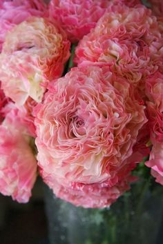 Ranunculus 'Vigor Pi Beautiful
