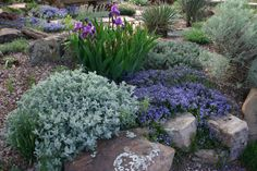 Partridge feather and turkish veronica bordered by dwarf purple iris and sand sage