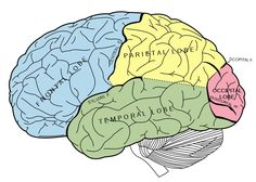 Frontal Lobe: one of the four major lobes of the cerebral cortex in the brain of… Lóbulo Frontal, Trauma, Lobe Occipital, Mirror Neuron, Ps Wallpaper, Neuroplasticity, Negative Thinking, Negative Thoughts, Physical Therapy