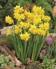 Daffodils Tete-a-Tete
