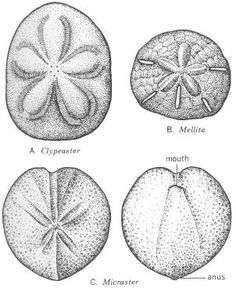 Chapter 7: Phylum Echinodermata