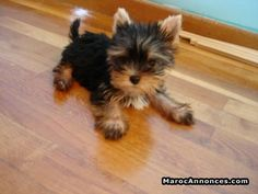 """Figure out more relevant information on """"Yorkshire terrier dogs"""". Browse through our internet site. Cute Puppies, Cute Dogs, Dogs And Puppies, Poodle Puppies, Cute Baby Animals, Funny Animals, Animals Dog, Yorshire Terrier, Yorkie Puppy"""