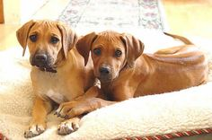 The Attraction and High Maintenance of the Rhodesian Ridgeback  #GuestPost #Dogs #Pets