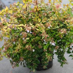 Buy Abelia grandiflora 'Francis Mason' Online for Delivery by Big Plant Nursery. A variegated semi evergreen plant with a pink flower through summer. Big Plants, Plant Nursery, Evergreen, Shrubs, Pink Flowers, Garden, Garten, Lawn And Garden, Shrub