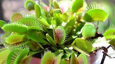 Esta era mi planta carnívora (Dionaea muscipula) en 2014. ¡Qué recuerdos!