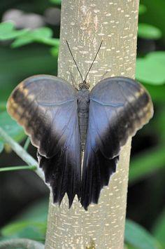 Owl-Butterfly: Caligo memnon; by Truus & Zoo - Flickr - Photo Sharing!