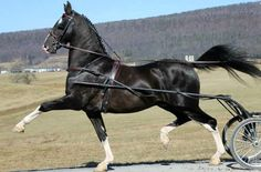 Dutch harness horse. A refined, high-stepping warmblood type of fine driving horse developed in the Netherlands.