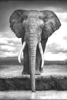 Nick Brandt - Elephant