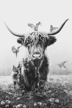 Witte Highlander poster bestellen - PosterJunkie - Lilly is Love Highland Cow Art, Scottish Highland Cow, Highland Cattle, Cute Baby Cow, Baby Cows, Cute Cows, Beautiful Creatures, Animals Beautiful, Cute Animals