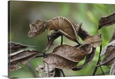 Leaf-tail Gecko mimicking leaves..National Geographic