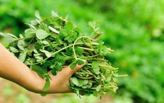"""Its name in Mexico, verdolagas, means """"green lakes."""" Up north it's purslane, and as sure as the sun will rise to its zenith on June purslane will Portulaca Oleracea, Vitamin A, How To Thicken Soup, Jugo Natural, Leafy Plants, Mean Green, Food System, Vegetable Garden Design, Food Humor"""