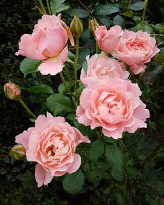 Up early for a lovely facial using Pulse Point Oils 'Mature' face oil. Rich in nourishing rosehip apricot and jojoba with the added benefits of sweet orange frankincense rose geranium and carrot seed. My skin feels wonderful awake and hydrated ready for the day ahead. On my way out the door I spotted these beautiful roses at the back of the border at Pulse Point Oils.  Such a great start to a busy week ahead.  #pinkrose #englishcountrygarden #englishrose  #puttingonashow #pulsepointoils…