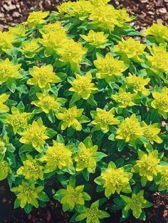 148 best ground cover low growing rock garden plants images on growing ground covers spurge euphorbia polychroma 24 groundcover plants for sun on mightylinksfo