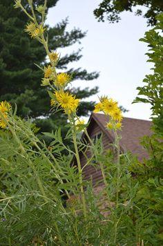 Silphium laciniatum - Compass Plant: Available at Prairie Moon Nursery All Plants, Potted Plants, Habitat Destruction, Moon Nursery, Bird Perch, Plant Nursery, Native Plants, Compass, Organic Gardening