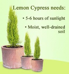 Native to California, the lemon cypress tree is known for its greenish-yellow foliage and fresh lemony fragrance. Gardenerdy provides information on lemon cypress tree care. Lemon Cypress, Cypress Trees, Veg Garden, Edible Garden, Container Gardening, Gardening Tips, Monterey Cypress, Arbour Day, Gardens