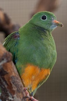 Orange-bellied Fruit Dove, found in New Guinea, the Aru Islands & western Papuan islands where it inhabits lowland rainforest, secondary forest & mangroves. Also recorded in Boigu Island, Queensland, Australian territory in northern Torres Strait.
