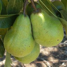 TRIXZIE PEAR MINI FRUIT TREE Pyrus communis  Trixzie® Pear produces large green slightly rounded fruit. Self pollinating.  If you think your backyard is too small to grow fruit trees think again! These all new Mini Trixzie® fruit trees have been developed for the modern smaller gardens. Small in stature big on flavour, the fruit they produce is full size fruit, should fruit as early as two years. Ideal for small gardens and patios, perfect in pots.  Supplied as a bare rooted tree.