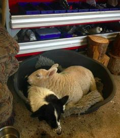 No One Tell This Sheep She's Not Really A Dog ~ Who's comforting who? Unusual Animal Friendships, Unusual Animals, Cute Animals, Farm Animals, Best Dog Breeds, Best Dogs, Pub Vintage, Animal Antics, All In The Family