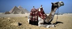 Camels in Cairo, Egypt