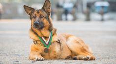 Lucca, pastore tedesco di 12 anni, è rimasto gravemente ferito da un'esplosione durante una missione nel 2012, che gli ha causato la perdita di una zampa. Fino ad allora aveva completato con successo più di 400 missioni e le sue abilità hanno contribuito a salvare migliaia di vite. I suoi sforzi son…