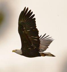 https://flic.kr/p/iev6pj | Bald Eagle | Bald Eagle @ Dawson Creek Park, Hillsboro OR