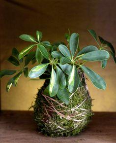 Green beauty kokedama #green #art #kokedama #design #handmade #gardening #flower