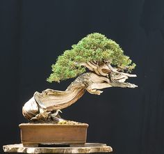 Walter Pall Bonsai Adventures: Rocky Mountain Juniper #2