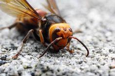 Avec ses 5 cm de long, le frelon géant Vespa mandarinia est le plus grand des insectes sociaux.