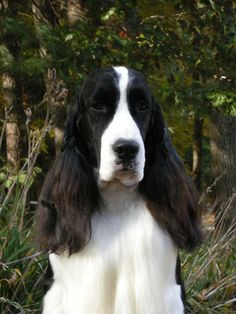 english springer spaniel black and white - Google Search