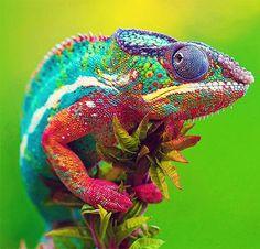 Dieren: Leguanen En Hagedissen / Animals: Iguanas And Colorful Animals, Nature Animals, Animals And Pets, Cute Animals, Colorful Lizards, Beautiful Creatures, Animals Beautiful, Types Of Chameleons, Tier Fotos