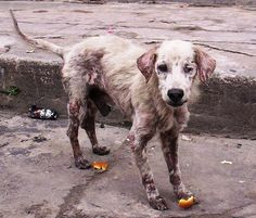 If you suspect your dog has mange caused by demodex, or the demodectic mite, find out how it is diagnosed and how it can best be treated. Rescue Dogs, Animal Rescue, Coconut Oil For Dogs, Street Dogs, Stop Animal Cruelty, Save Animals, Animal Welfare, Animal Rights, Dog Cat