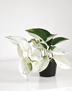Tumblr Room Decor, Tumblr Rooms, Marble Queen Pothos, New Growth, Take My, Absolutely Gorgeous, House Plants, Leaves, Green