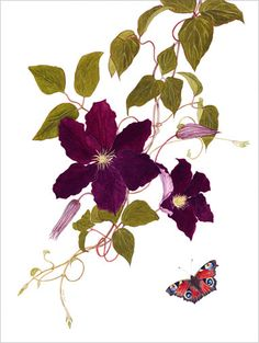 Clematis Madame Edouard Andre & Peacock Butterfly by Anne Jones